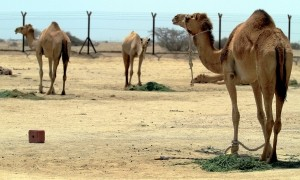 Camels don't mind the hot weather