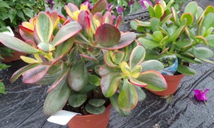 Crassula Magic Sunset houseplant
