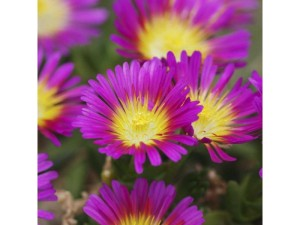 Delosperma drought-tolerant plants for the garden