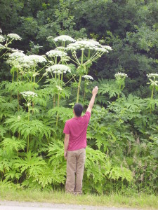 Giant Hogweed, Heracleum mantegazzianum, a pernicious weed in the garden