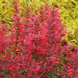 Agastache Kudos Coral summer flowers