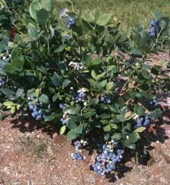 Blueberries grow well in damp but well drained conditions