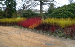 Cornus Flaviramea and Midwinter Fire