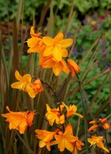 Crocosmia Twilight Fairy Gold