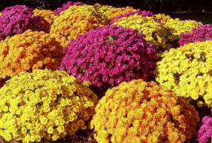 Garden mums flowering in August and September