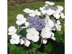 Hydrangea Libelle is a garden shrub that likes moist soil