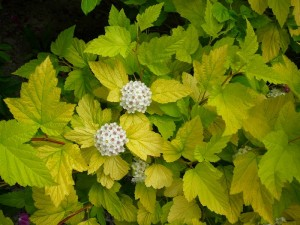 Physocarpus is a garden shrub that likes damp soil