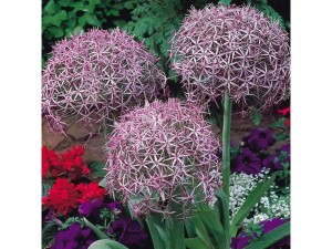 Allium Christophii bulbs  for spring colour