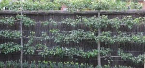 Espalier trained pear tree