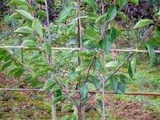 Fan trained cherry tree fruit tree pruned