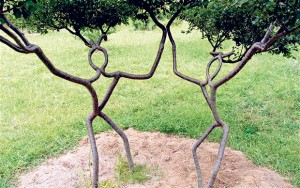 Prunus trees trained into shapes using grafts and saplings
