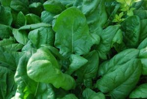 Spinach growing in the vegetable garden