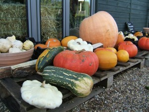 Vegetables grown in the garden. Marrows, pumpkins, squash, uk,harvest