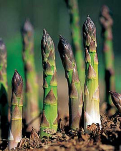 asparagus growing in the vegetable garden