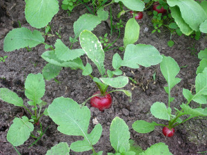 radish growing in the vegetable garden