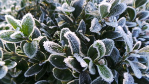 Shrubs in winter in the garden