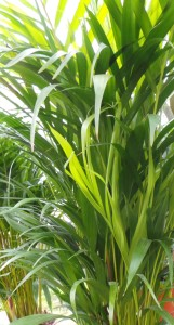 Areca, palm, great for filtering the air, houseplant, house, plant, office, green