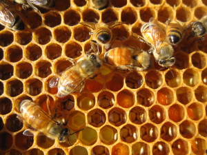 Bees filling their wax honeycomb