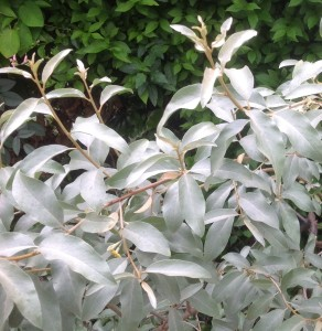 Eleagnus 'Quicksilver'