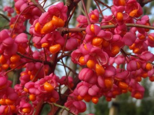 Euonymus 'Red Cascade' orange and red berries