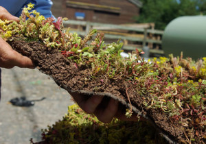 Green roof turf