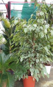 Rubber plant, weeping fig, Sago palm, Dragon tree group