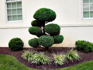 Shaped evergreens for structural form