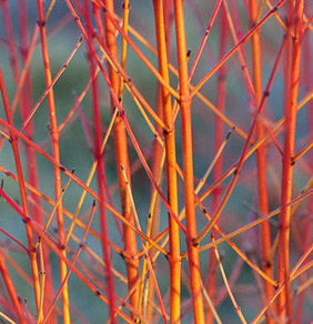 firey stems of winter cornus