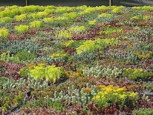 Sedum Green Roof Mix