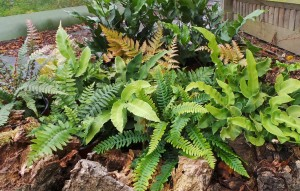 Ferns, green, fronds, plants, shade