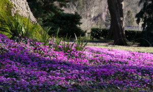 Cyclamen, winter, flowers, gardens, plants, colour