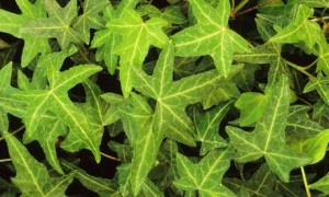 Hedera, ivy, house plant, houseplant, filter, health, green