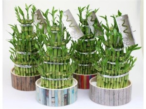 Lucky bamboo, home, luck, plants, soft, furnishings, house plants.