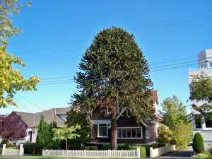 Monkey, puzzle, tree, next, to, house, evergreen, close, garden