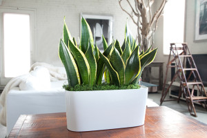 Office plants, house plants, health, wellbeing, filter, toxins, good for you, gardens, growing, green