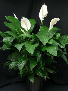 Peace Lily, house plant, houseplant, filtering, air