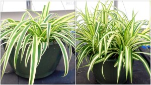 Spider plant, house plant, houseplant, health, filtering, air