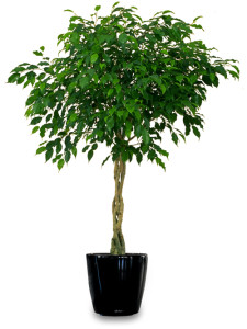 Weeping fig, ficus, house plant, houseplant, health, growing, allergies