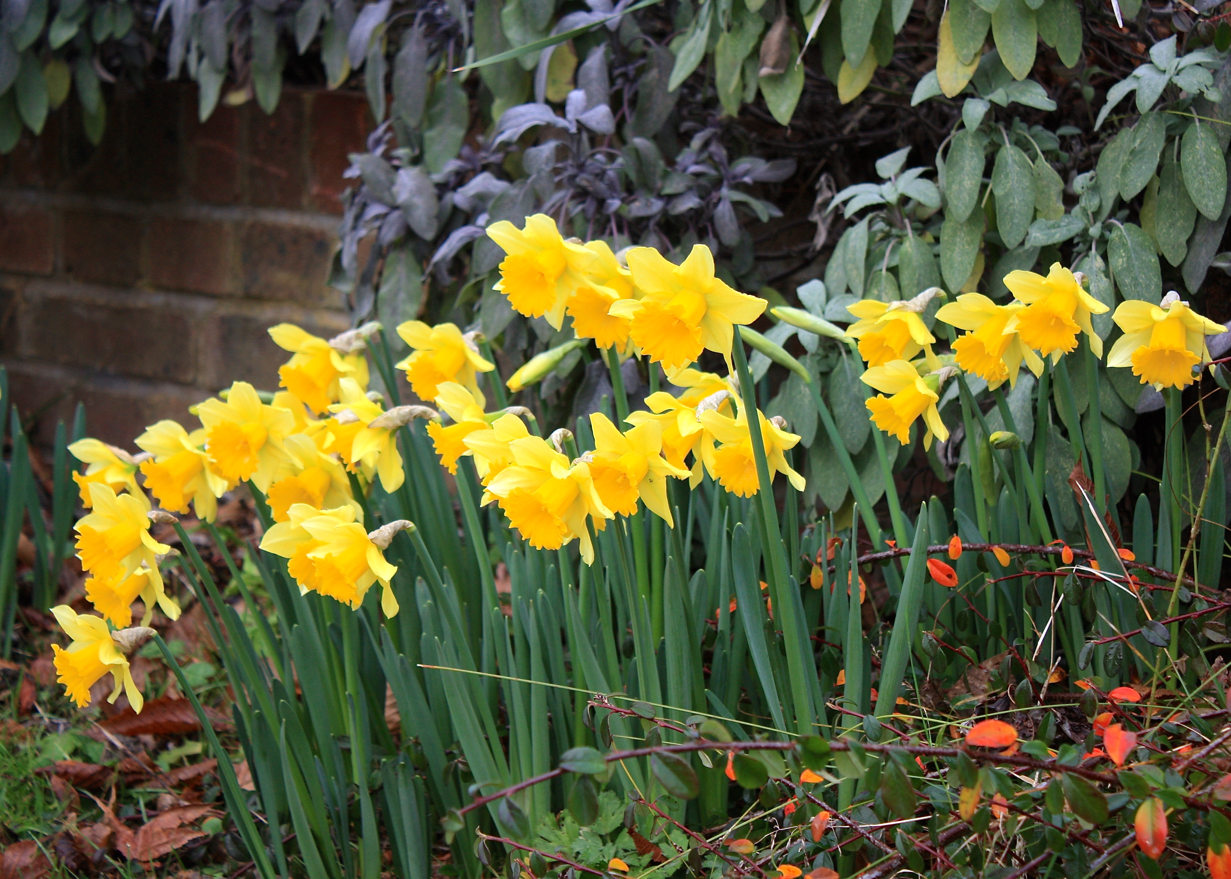 Is climate change responsible for our early blooming flowers daffodil early sensation flowers blooming winter spring garden mightylinksfo
