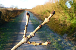 Ash, tree, Fraxinus excelsior,  twig, winter, identification