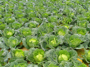 Cabbages, planting, moon, growing, garden, vegetables