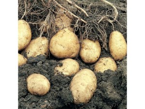 Potatoes, growing, vegetables, garden, summer, spring, crop