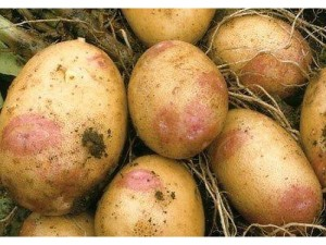 Potatoes, garden, growing, harvest, vegetables, food, kitchen