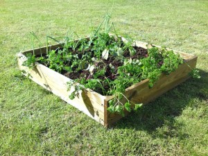 Raised bed, vegetables, garden, growing