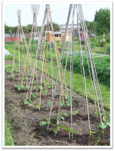 runner beans, growing, vegetables, garden, soil, wigwam, climb