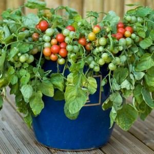 tomatoes, potatoes, vegetables, fruit, growing, containers. dwarf
