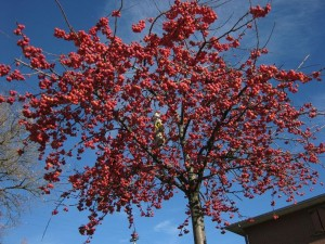 Malus Red Sentinel, crab apple, tree, garden, small, fruits