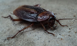cockroach, insect, animal, pest