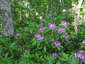 rhododendron ponticum, invasive, plant, countryside, pest