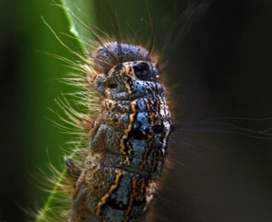 Caterpillar, butterfly, garden, biodiversity, insects, plants, chomp, creepy, crawly